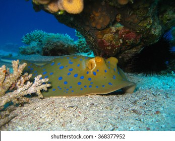 Blue spotted stingray under coral, closeup