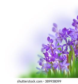 Blue spring crocuses flower blurred background.