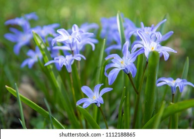blue spring flowers Chionodoxa is commonly called Glory-of-the-Snow