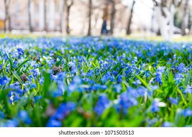 Blue spring flowers in the garden