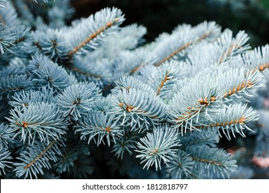 Blue spruce background. Coniferous tree. Nature, Christmas, New Year, seasonal concept. Selective focus.