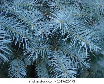Blue spruce branch. Beautiful branch of spruce with needles. Christmas tree in nature. Green spruce. Spruce close up.