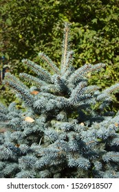 blue spruce for Christmas. The branches of the spruce close-up. Picea pungens - representative of the genus Spruce from the Pine family. New Year tree. Christmas tree