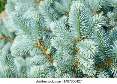 Blue spruce close up. Fir branches