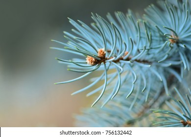 Blue spruce in the forest, Background & Textures