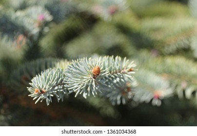 blue spruce in the garden