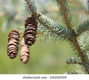 blue spruce, green spruce with cones