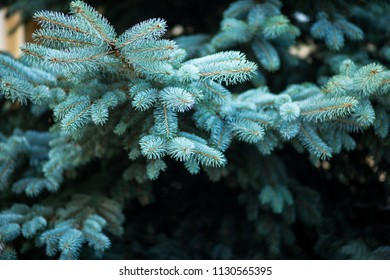Blue spruce, green spruce, blue spruce, with the scientific name Picea pungens, is a species of spruce tree. Selective fokus.