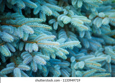 Blue spruce, green spruce, blue spruce, with the scientific name Picea pungens, is a species of spruce tree. Selective focus.