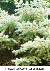 Blue spruce, green spruce with scientific name Picea pungens. Beautiful branch of spruce with needles. Christmas tree in nature. close up. Free space for text. Copy space. Selective focus.