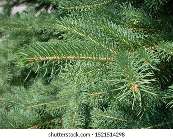 Blue spruce, green spruce, blue spruce, with the scientific name Picea pungens, is a species of spruce tree.