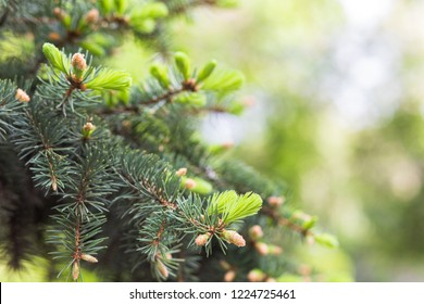 Blue spruce, green spruce, white , Colorado spruce, or Colorado blue spruce, Picea pungens branches with young needles. Natural background with plants