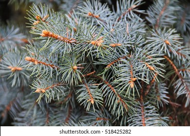 Blue spruce needles on a branches