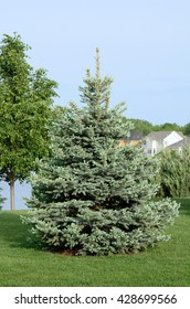 A Blue Spruce (Picea pungen) Tree Also Called a Colorado spruce