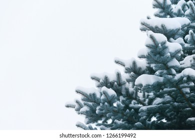 blue spruce in the snow on a white background