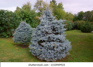 blue spruce tree in the city park