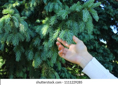 Blue spruce tree close-up in woman hand.