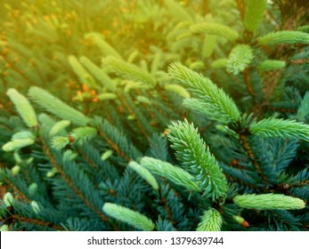 Blue spruce twig. Fir tree or spruce buds. Young green sprouts fir tree twig needles. Fresh growing fir twig sprouts, spruce branch in spring forest. Pine sprouts in sunlight on coniferous background