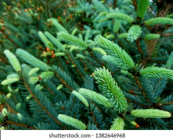 Blue spruce twig. Fir tree or spruce buds. Young green sprouts fir tree twig needles. Fresh growing fir twig sprouts, spruce branch in spring forest. Pine sprouts on coniferous background in forrest