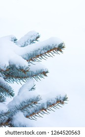 Blue spruce under the snow