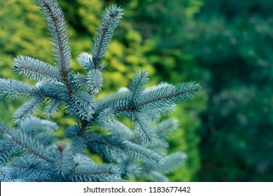 Blue Spruce, White Spruce, Colorado Spruce, Picea Pungens Branches Close Up