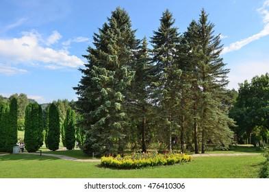 Blue spruces. The Valley of roses in Kislovodsk resort Park.