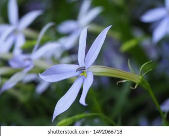 Blue star, beautiful flowers in garden