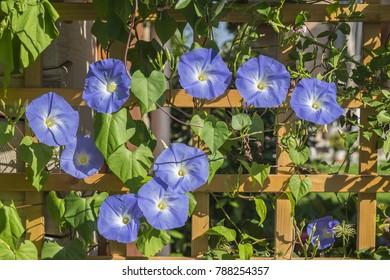 Blue Star (Ipomoea tricolor 'Heavenly Blue')