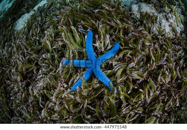 A blue starfish (Linkia laevigata) lies in a seagrass meadow off the coast of Sulawesi in Indonesia. This common seastar is found throughout the Indo-Pacific region.