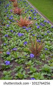Blue Streptocarpus Listy - Shutterstock ID 1012764256