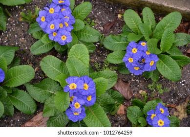 Blue Streptocarpus Listy - Shutterstock ID 1012764259