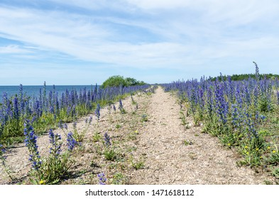 Blue summer flowers by a country road along the coast of the Baltic Sea at the island Oland in Sweden