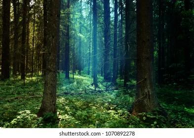 Blue sunshine in shady fir tree forest