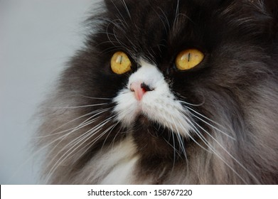 Blue tabbie persian cat on alert