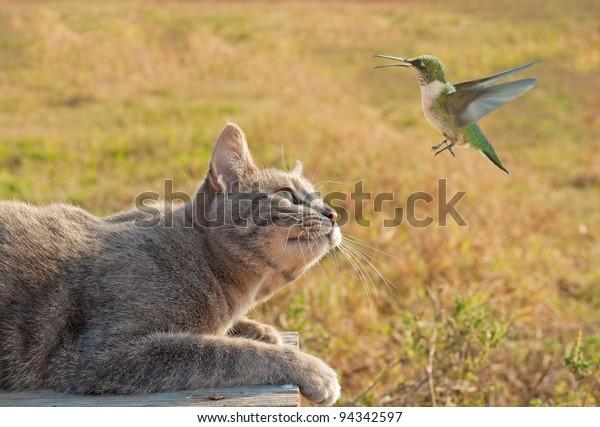 blue-tabby-cat-watching-hummingbird-600w