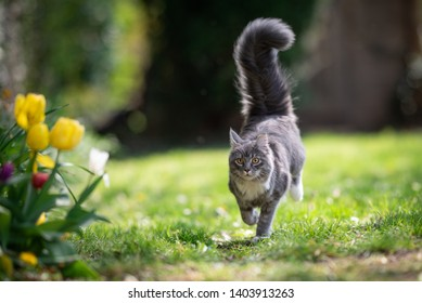 blue tabby maine coon cat running towards camer in the back yard next to some yellow flowering tulips
