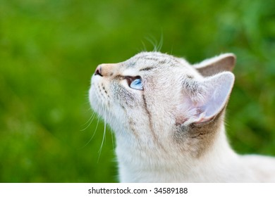 Blue tabby point cat closeup outdoor