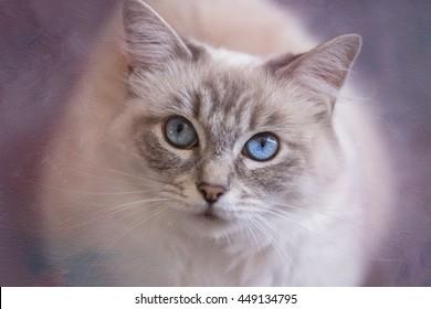 Blue Tabby Point Ragdoll Cat