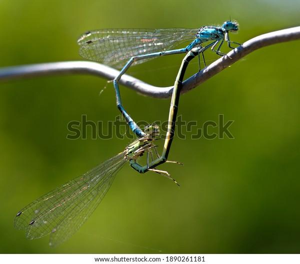 blue-tailed-damselfly-mating-scene-600w-