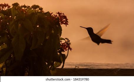 Blue Tailed Emerald hummingbird in the sunset Curacao caribbean