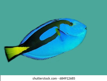 Blue tang fish isolated on green