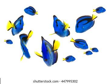 blue tang fish, marine life isolated on white background