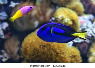 Blue tang (Paracanthurus hepatus), a number of common names are attributed to the species, including  Palette surgeonfish, Regal tang, and Bicolor Dottyback (Pictichromis paccagnella)