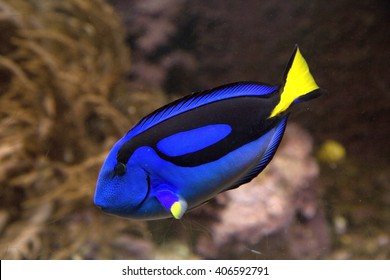 Blue tang or Regal tang or Palette surgeonfish (Paracanthurus hepatus ) .