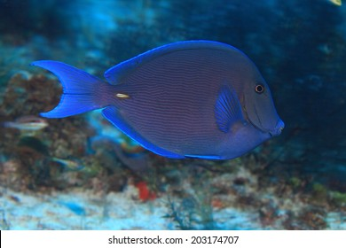 Blue tang surgeonfish (Acanthurus coeruleus) in the tropical coral reef of the caribbean sea