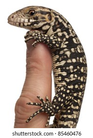 Blue Tegu, Tupinambis merianae, perched on a finger in front of white background