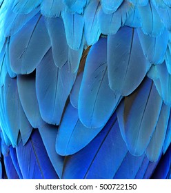 The blue texture of blue and gold macaw parrot's rump feathers, amazing background