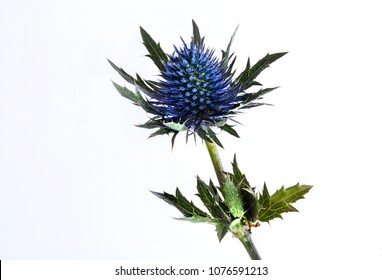 Blue thistle on white background