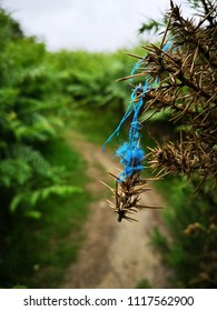 A blue thread, from a hikers jacket, caught on thorns on an English rambling route.