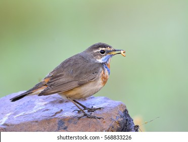 Blue throat (Luscinia svecica) Beautiful chubby brown bird with orange and blue marking on its chest eating worm meal on the rock in morning soft lighting